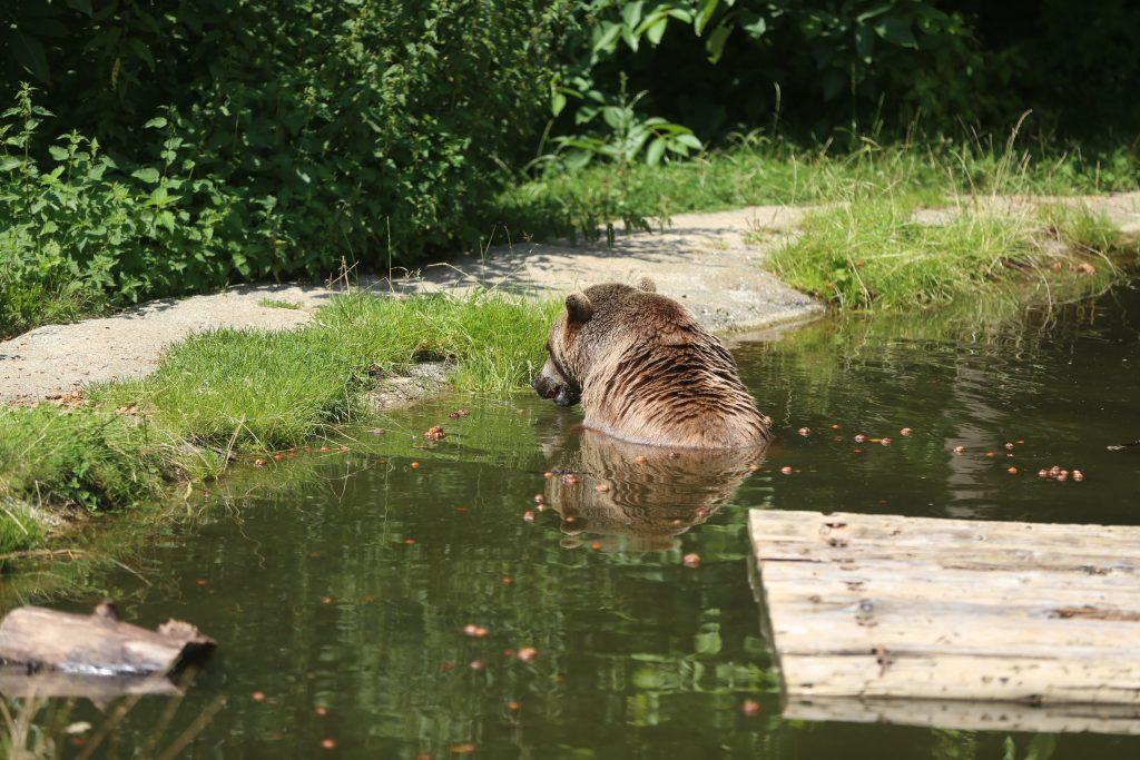 Bär badet im Teich