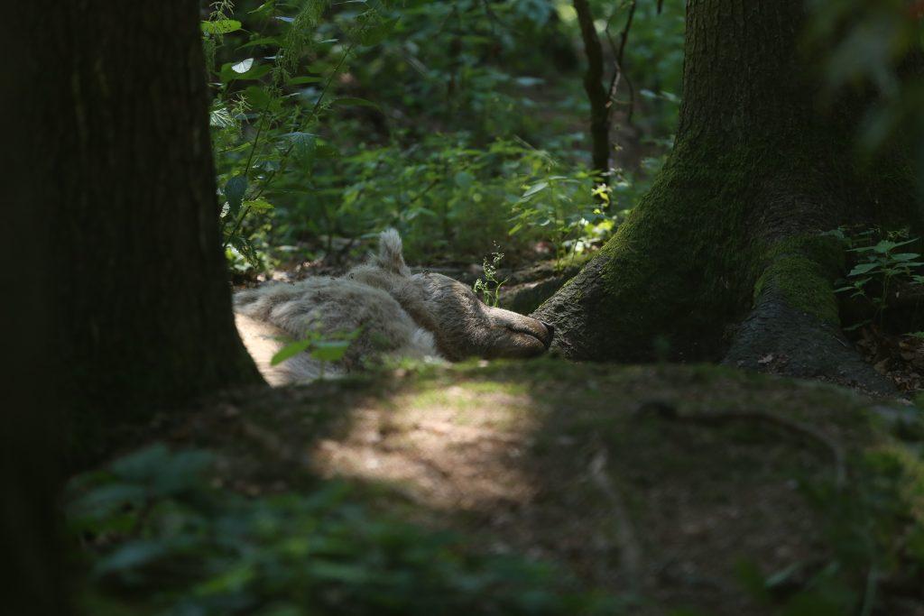 Bär schläft im Wald
